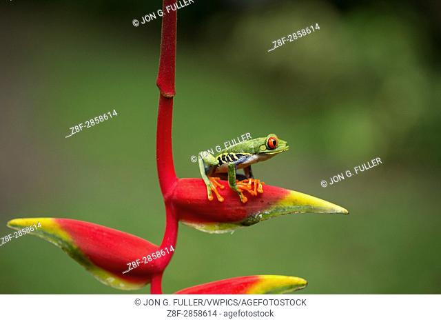 A Red--eyed Tree Frog or Red-eyed Leaf Frog, Agalychnis callidryas, on a Lobster Claw Heliconia in Costa Rica