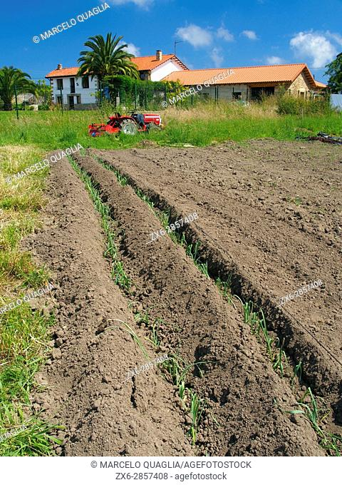 Small leek plants and tractor. Ecocaracol organic farmhouse. Venta Las Ranas village, Villaviciosa village Council. Asturias autonomous community