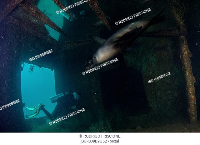 Diver and sea lion at site of sunken ship Fang Ming artificial reef, La Paz, Baja California Sur, Mexico