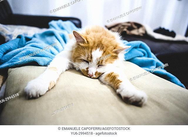 sleeping cat lying on the sofa