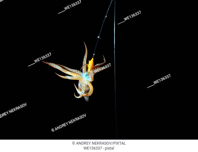 night fishing on a squid, Japanese common squid or Japanese flying squid (Todarodes pacificus) Japan sea, Far East, Primorsky Krai, Russian Federation
