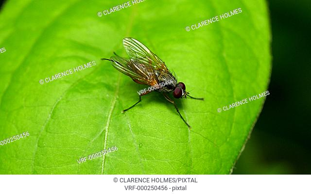An unidentified Root-Maggot Fly (family Anthomyiidae) preens on a leaf in spring
