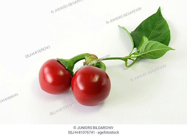 Sweet Red pepper, Pimiento (Capsicum annuum). Twig with ripe fruit. Studio picture against a white background. Germany