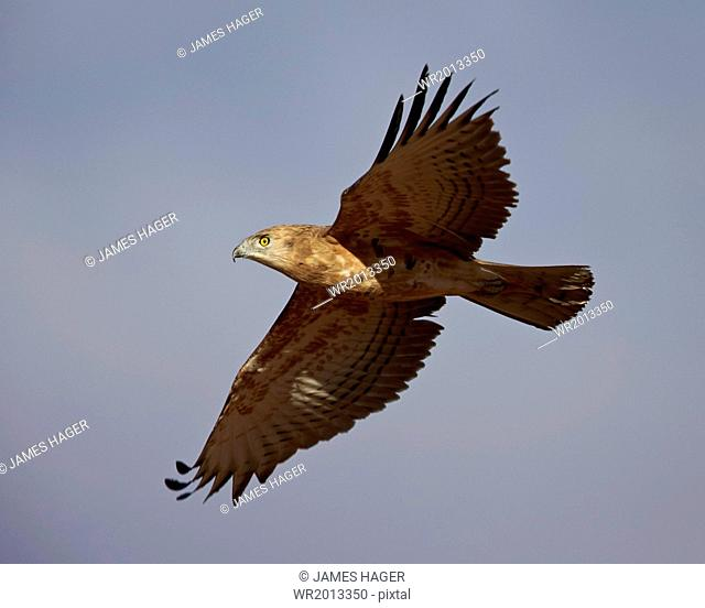 Black-breasted snake eagle (black-chested snake eagle) (Circaetus pectoralis) in flight, immature, Kgalagadi Transfrontier Park