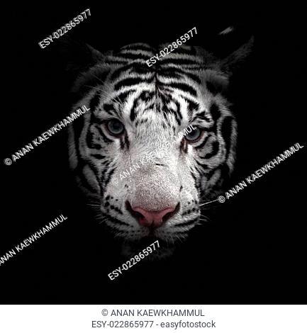 white bengal tiger face
