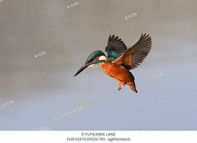 Common Kingfisher Alcedo atthis adult, in flight, hovering over water, Midlands, England, november