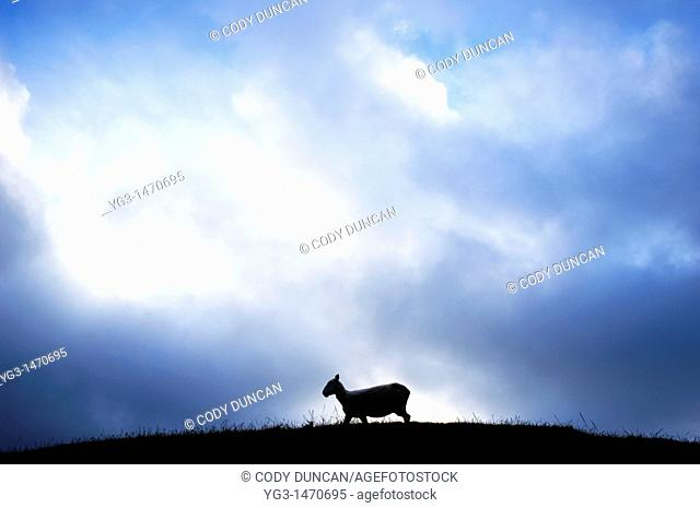 Silhouette of sheep on hilltop, New Zealand
