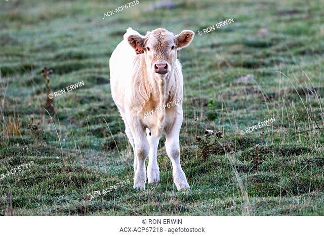 Charolais calf, Barrie Island, Manitoulin Island, Ontario, Canada