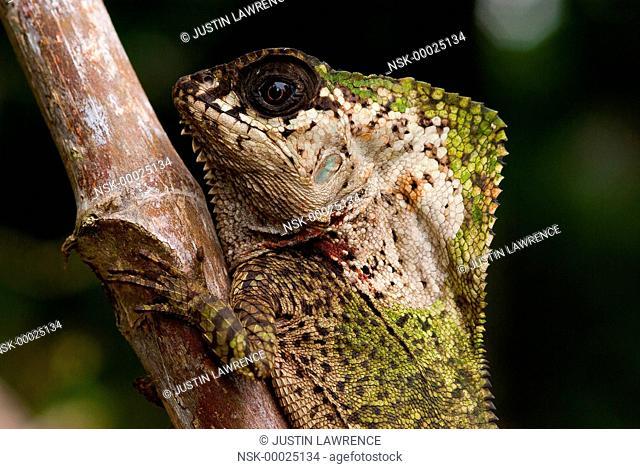 Casque-Headed Lizard (Corytophanes cristatus) camouflaging itself, Panama