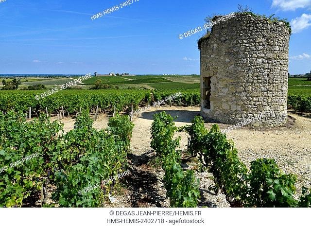 France, Gironde, Saint Estephe, vineyard of the wine of Bordeaux, old windmill in the middle of vineyards