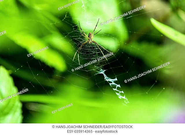 wasp spider, male spider in its web