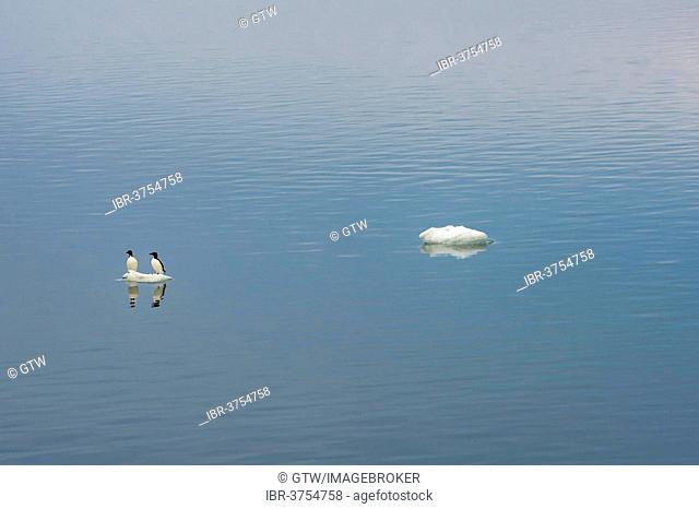 Thick-billed Murres or Bruennich's Guillemots (Uria lomvia) perched on an ice floe, Wrangel Island, Far Eastern Federal District, Russia