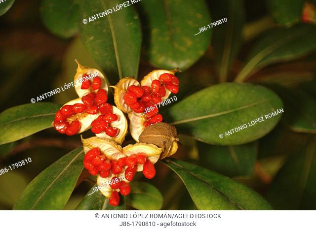 European Spindle Euonymus europaeus, leaves and seeds