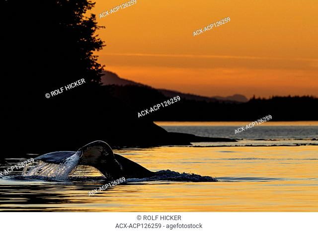 Humpback whale (Megaptera novaeangliae) lifting its tail for a deep dive during sunset in Weynton Passage of Vancouver Island near the Broughton Archipelago