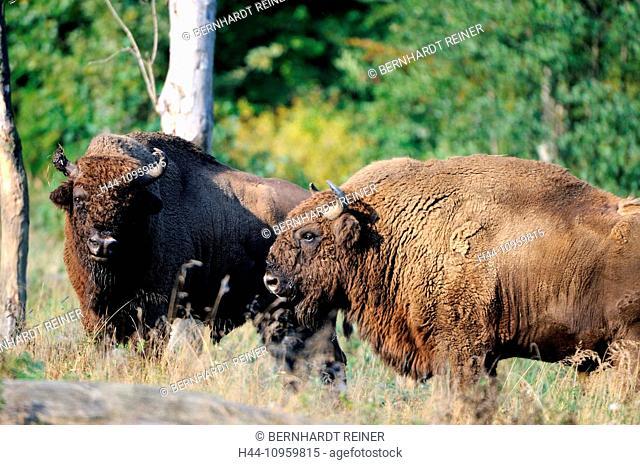 Bison, bison bonasus, Bovinae, cattle, buffaloes, horns, bovine, cloven-hoofed animal, bisons, autumn, animal, animals, Germany, Europe