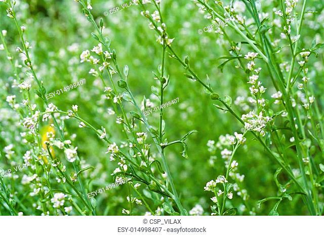 Pepperwort-salad background