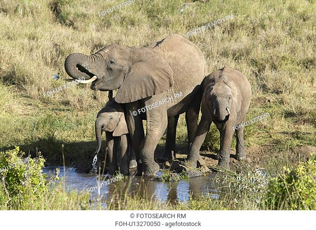 African Elephants drinking water at pond