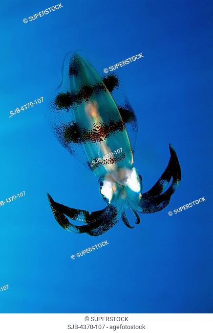 Bigfin Reef Squid in Papua New Guinea