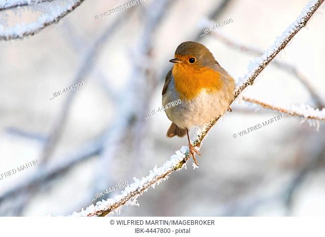 Robin (Erithacus rubecula) perched on branch with hoarfrost, Hesse, Germany