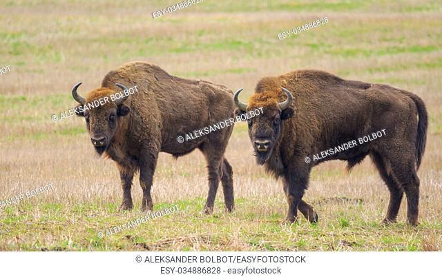 Two of European Bison bulls resting in springtime, Podlasie,Poland,Europe
