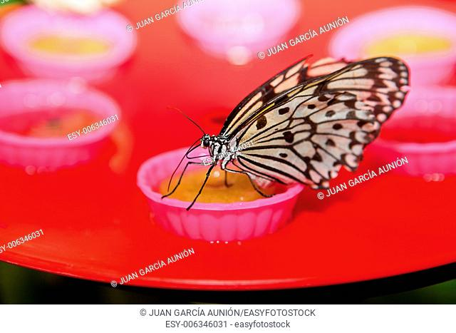 Portrait of a Rice Paper butterfly, Idea leuconoe, drinking nectar