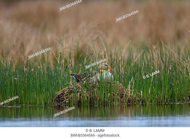 greylag goose (Anser anser), breeding, with yellow collar for marking, Germany, North Rhine-Westphalia