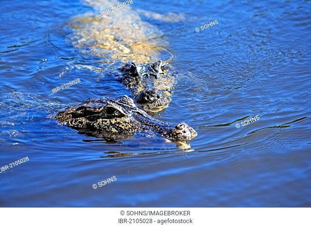 Yacaré Caiman or Piranha Caiman (Caiman yacare), adults, in water, Pantanal, Brazil, South America