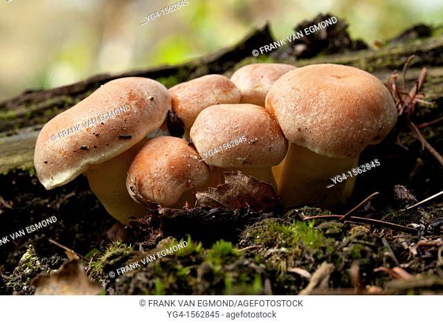 Nematoloma Capnoides cluster. Herperduin, Herpen, The Netherlands