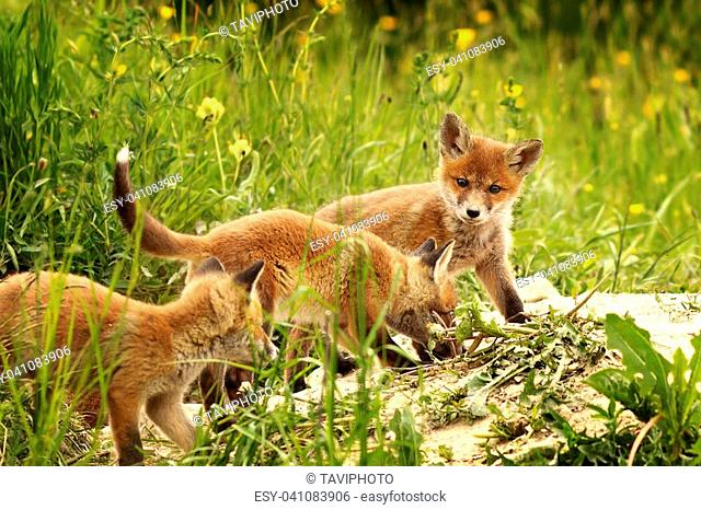 young red foxes playing near the burrow in a spring day ( Vulpes )