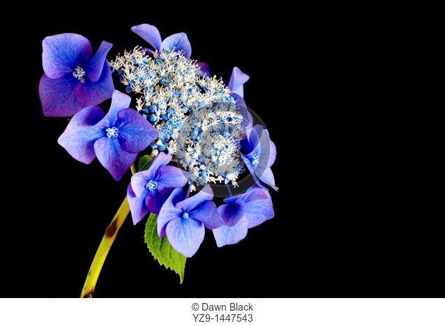 Blue Lacecap Hydrangea Hydrangea macrophylla normalis