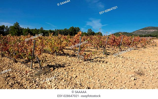 Wide view of vineyard with bobal grape