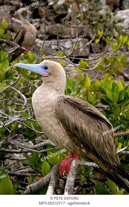 Red-footed Booby (Sula sula), Tower Island, Galapagos Islands, Ecuador