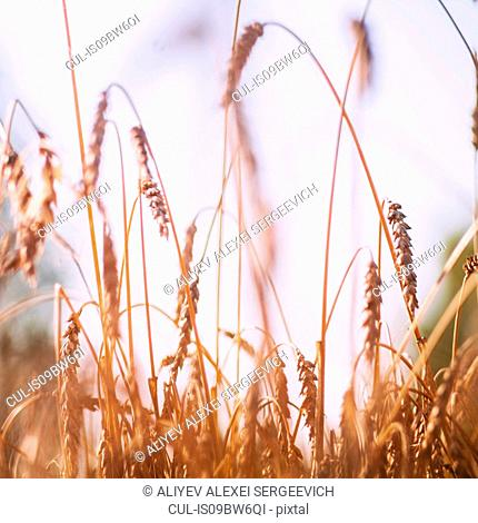 Ears of wheat in wheat field, close up