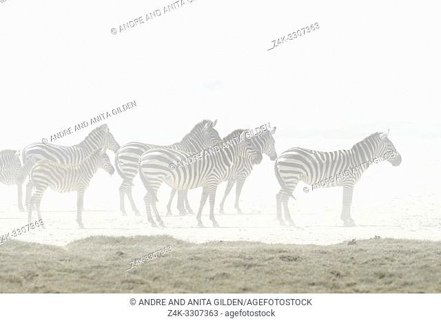 Plains Zebra (Equus quagga burchelli) herd standing in wind blown dust from dry riverbed, Ngorongoro conservation area, Tanzania
