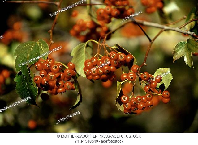 Red Hawthorn, Crataegus mollis, berries close-up in gold afternoon light. Olympic Peninsula, Washington State, USA