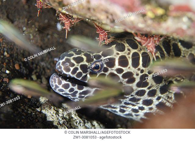 Juvenile Blackspotted Moray (Gymnothorax favagineus, Muraenidae family) with Dancing Shrimp (Rhynchocinetes durbanensis) with Cardinalfish in foreground