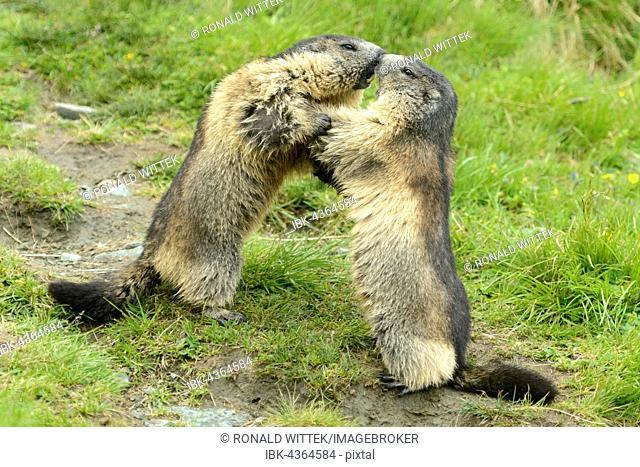 Alpine marmots (Marmota marmota) fighting, High Tauern National Park, Austria