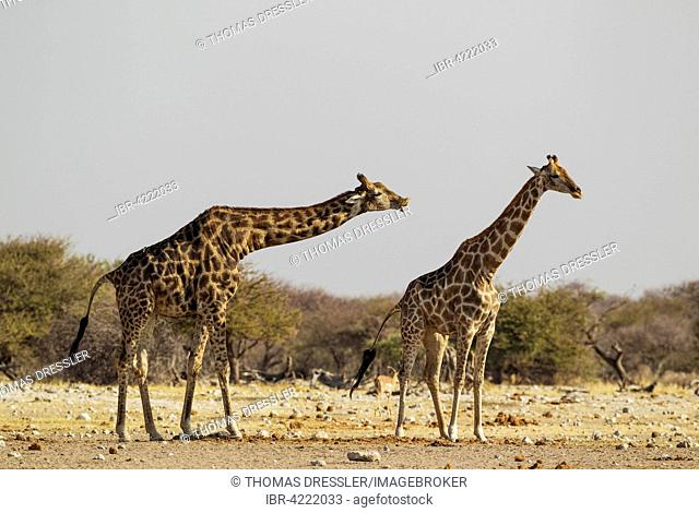 South African giraffes (Giraffa camelopardalis giraffa), male doing flehmen response, Etosha National Park, Namibia