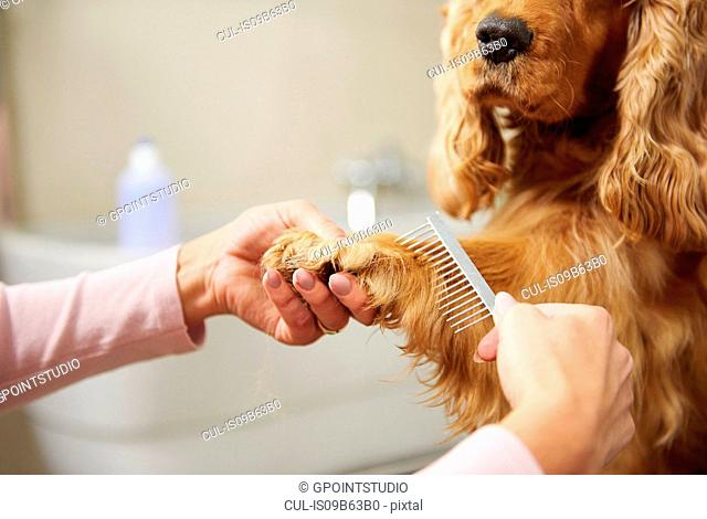Hands of female groomer combing cocker spaniel's paw at dog grooming salon