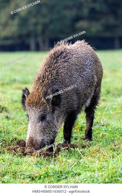 France, Haute Saone, Vesoul, Wild Boar (Sus scrofa), looking for worms