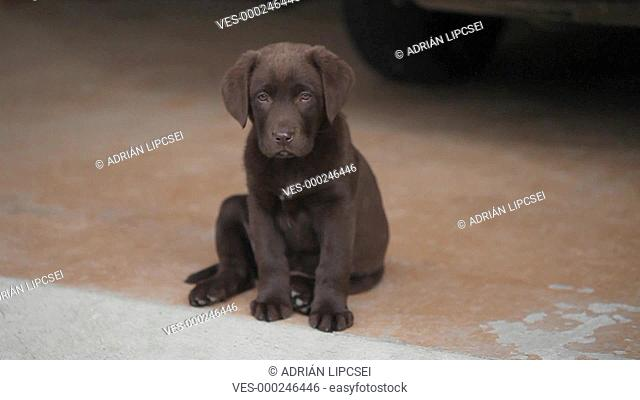 chocolate labrador is sitting