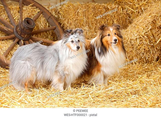 Two Shelties, Shetland Sheepdogs standing at hay