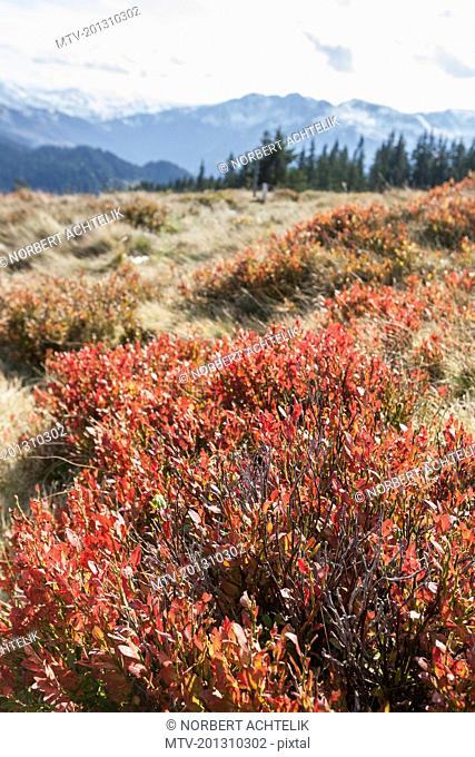 Lingonberry plants on field