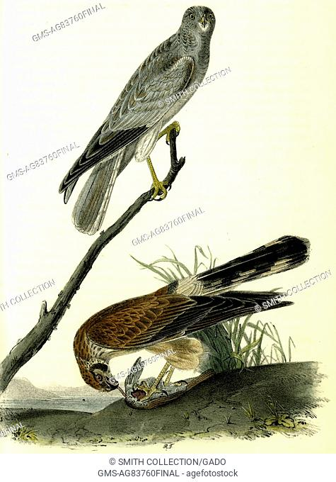 Illustration of the Common Harrier, from the book Birds of America by John James Audubon, 1842. From the New York Public Library