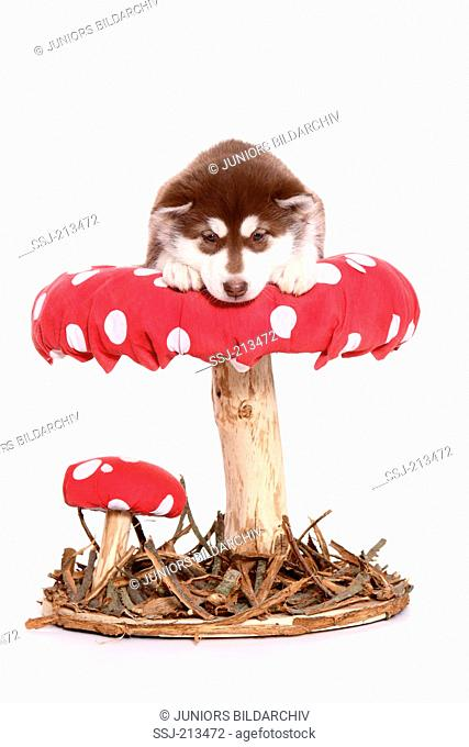 Alaskan Malamute. Puppy (6 weeks old) lying on a big Fly Agaric. Studio picture against a white background. Germany