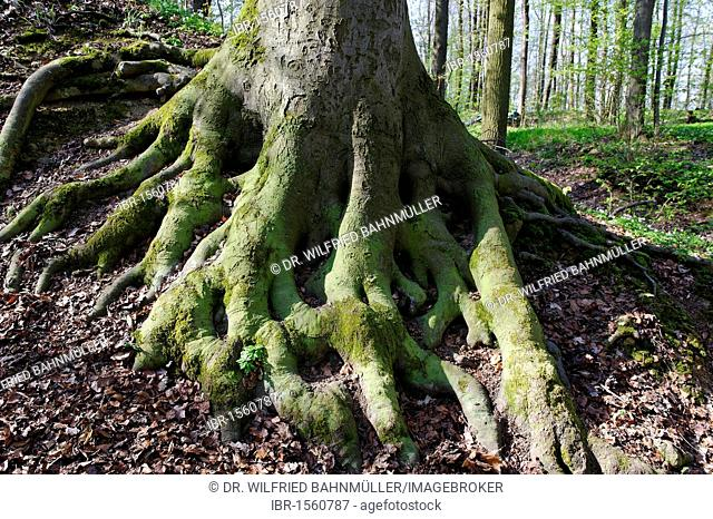 Exposed roots of a beech tree, Maintal valley, Upper Franconia, Bavaria, Germany, Europe