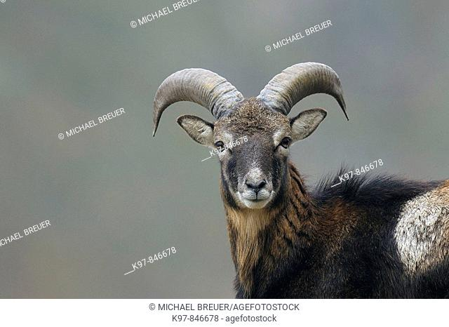 Mouflon, Mufflon, Male, Ovis ammon musimon, Germany