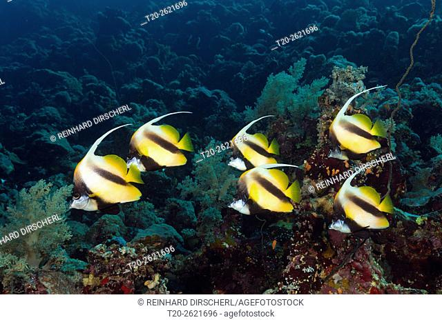 Shoal of Red Sea Bannerfish, Heniochus intermedius, Red Sea, Dahab, Egypt