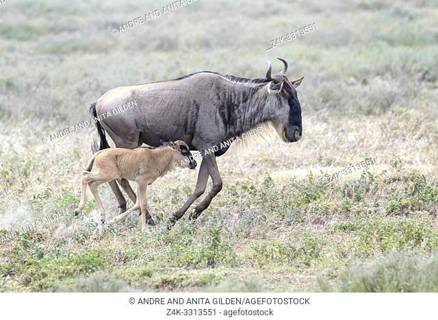 Blue Wildebeest (Connochaetes taurinus) mother with newborn calf running at the southern plains, during the migration, Ngorongoro conservation area, Tanzania