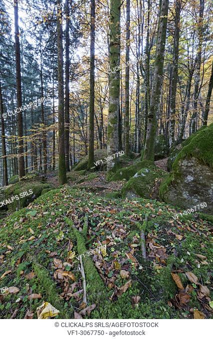 Foliage of autumn in the forest of Bagni di Masino, Valmasino, Valtellina, Sondrio province, Lombardy, Italy